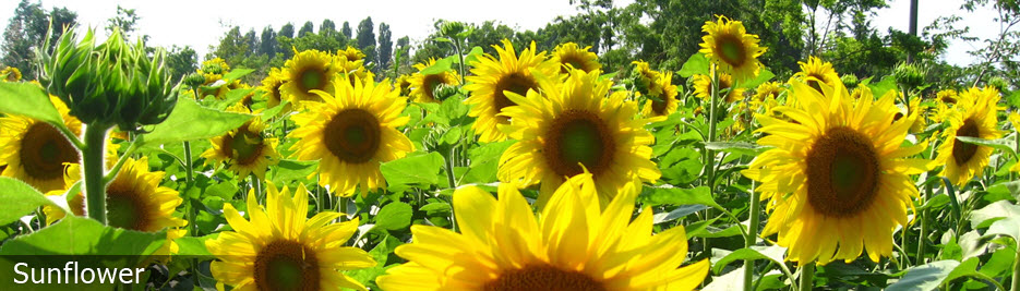Oilseeds Sunflower